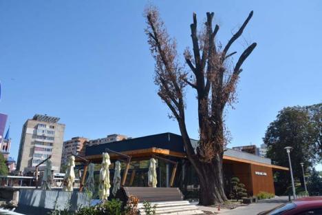 O, plooop uscat… Restaurantul Spoon se extinde pe locul plopului ciopârţit de drujbaşii tocmiţi de Primărie