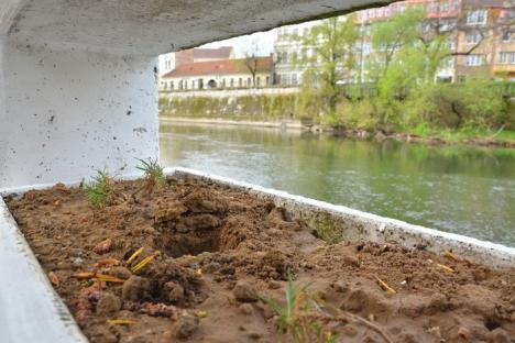 Faleze furate: Florile plantate de voluntari pe malul Crişului încep să dispară (FOTO)