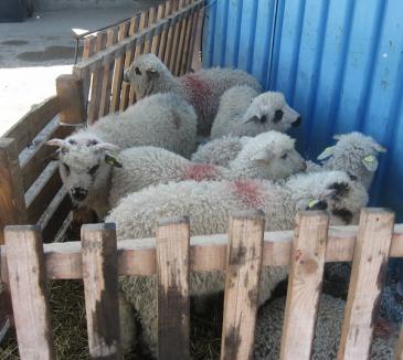 De marţi începe sacrificarea mieilor în Piaţa Ioşia şi în cea din Beiuş (FOTO)
