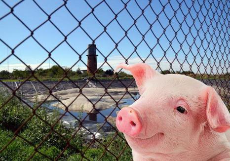 'Ne-am săturat să mirosim a Nutripork': Orădenii, invitaţi la dezbaterea pe tema fermei de porci din Ioşia