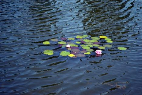 Prădător sau neglijenţă? Zeci de peşti morţi au fost adunaţi din lacul amenajat în Parcul Salca (FOTO)