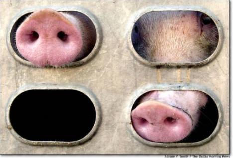 Direcţia Sanitar-Veterinară combate 'mafia importurilor ilegale de porci'