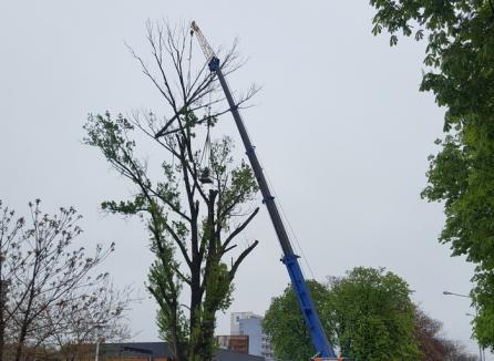 Operaţiunea 'Drujba la înălţime': Au ciopârţit plopul de lângă Spoon, o parte din crengi ajungând pe acoperişul localului (FOTO / VIDEO)