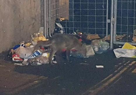 Atenţie, orădeni: vulpe fotografiată în timp ce căuta hrană în tomberoane, în Nufărul! (FOTO)