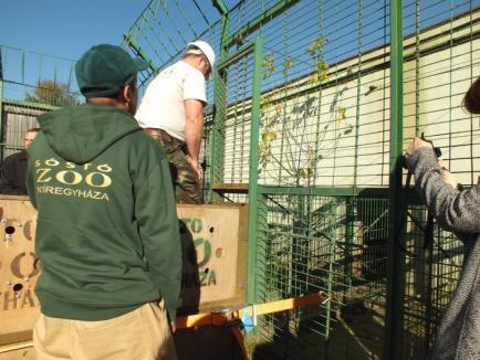 Cadou de la Nyíregyháza: Zoo Oradea a primit o leoaică, patru antilope şi un vultur (FOTO/VIDEO)