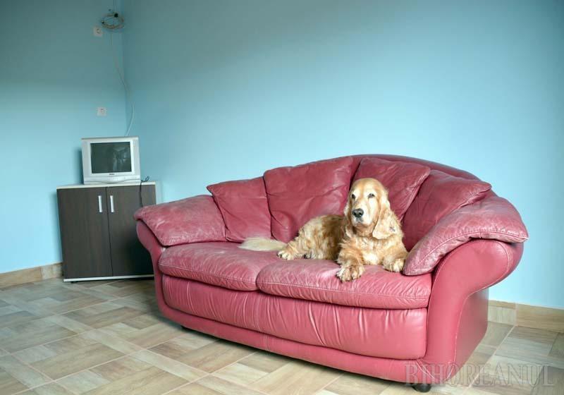 TESTAT DE HAPPY. Hotelul canin nu are încă un nume, dar cel mai probabil îl va purta pe cel al câinelui proprietarilor, Happy (foto), un cocker spaniel care se lăfăie deja pe canapelele viitorilor oaspeţi