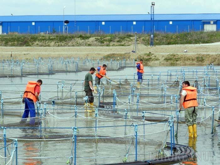 VIVIERE MOARTE. Angajaţii crescătoriei de sturioni de la Santăul Mic au muncit zi-lumină în urmă cu două săptămâni, pentru a atenua efectele poluării asupra celor 7 hectare ale lacului şi a scoate din viviere peştii ucişi de otrăvurile ajunse în apă
