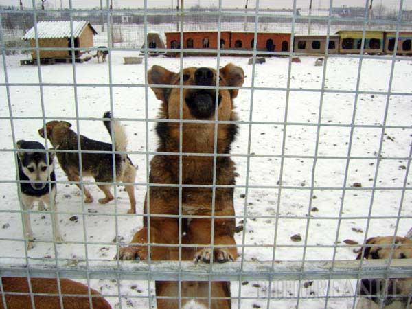 PRIETENI FIDELI. Specialiştii spun că, dacă sunt bine îngrijiţi, câinii comunitari se ataşează puternic de noul stăpân pentru că, spre deosebire de exemplarele de rasă, au resimţit lipsa unui cămin