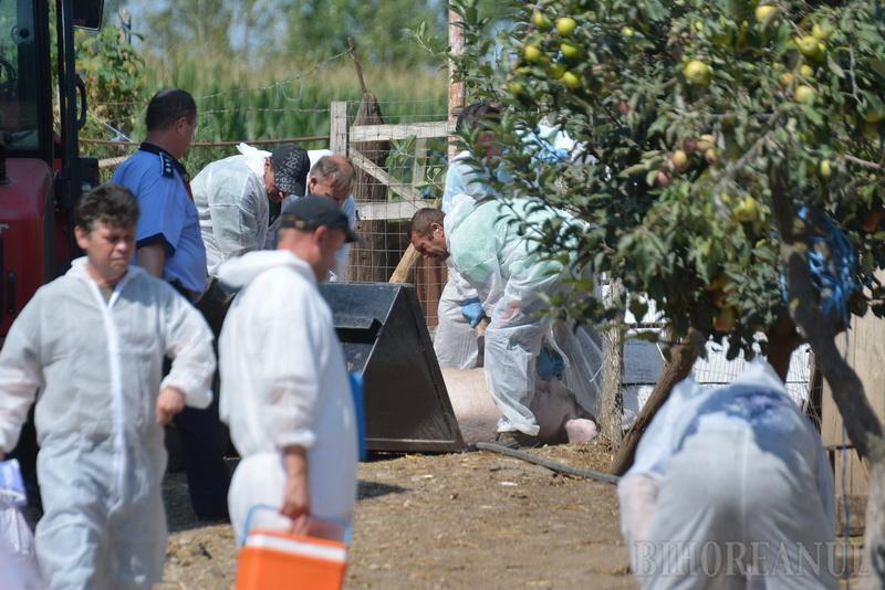 Două focare noi de pestă porcină în Bihor