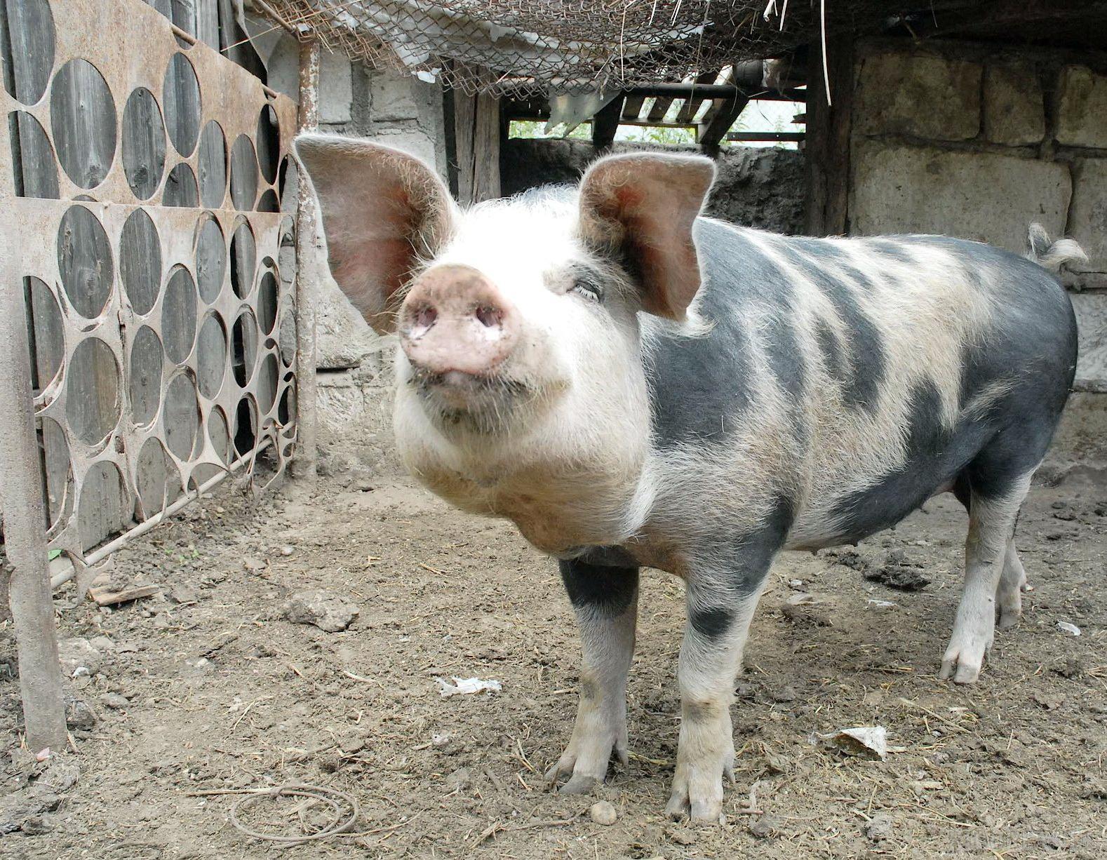 Fermierii bihoreni renunţă la porci şi vaci pentru a creşte oi şi capre