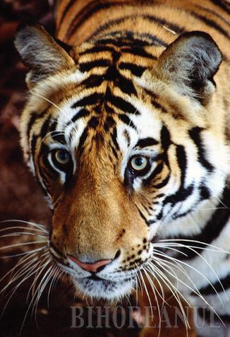 Tigru indochinez