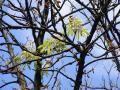 Fenomen cel puţin neobişnuit în Oradea: castani în floare la final de vară (FOTO)