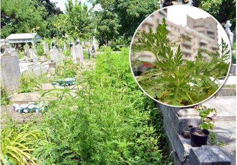 PESTE TOT. Orădenii pot da de ambrozie mai peste tot pe unde obişnuiesc să zăbovească: în parcurile dintre blocuri, cum se întâmplă în cartierul Luceafărul, dar şi în Cimitirul Municipal