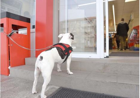 """FRICĂ DE HOŢI. În timp ce în magazine ori în localuri nu pot intra cu câinii, orădenii se tem şi să-i lase nesupravegheaţi în faţa uşilor. """"În Oradea se fură câini într-o veselie. Dacă ai noroc, îl găseşti pe OLX a doua zi şi îl cumperi iar. Eu aşa am păţit"""", relatează un orădean"""
