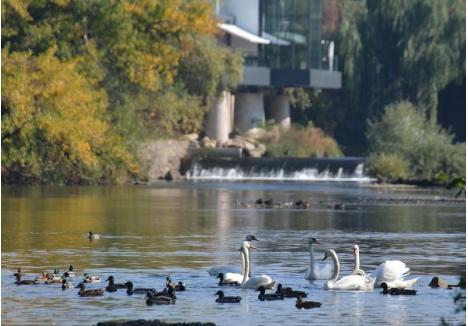 FAVORITELE. Lebedele şi raţele sunt de departe cele mai răsfăţate păsări din oraş. Trecătorii le hrănesc, le fotografiază, ba chiar le îndrumă iarăşi spre apă dacă cumva se rătăcesc pe străzile oraşului