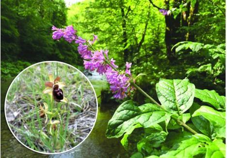 SECRETUL MUNTELUI. Două dintre florile rare cresc în zone montane ale Bihorului. Pe Valea Iadului, drumeţii pot întâlni în plină floare, luna viitoare, liliacul carpatin (foto), iar în Muntele Şes, arie protejată întinsă pe raza mai multor comune din zona Bratca-Aleşd-Popeşti, orhideea Ophrys sphegodes(detaliu)