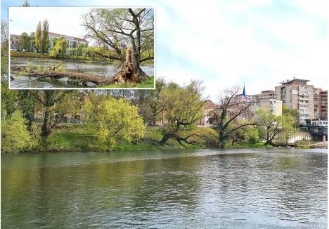 NATURA CEDEAZĂ. La cererea Primăriei, şapte arbori de pe malul drept al Crişului, mai jos de podul Dacia, au fost marcaţi, pentru a putea fi tăiaţi. La scurt timp, unul dintre ei a şi cedat, prăbuşindu-se în apa râului