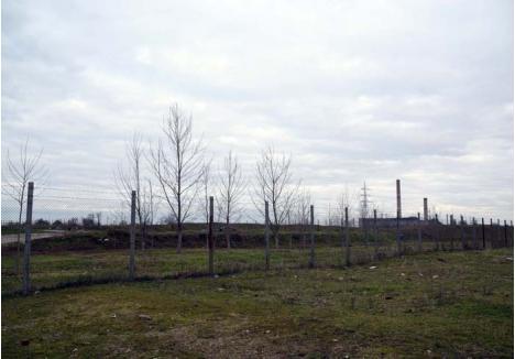 """COPACI... FĂRĂ PERDEA. Deşi încă din 2007 ferma Nutripork trebuia înconjurată cu o perdea vegetală, în jurul complexului din strada Coriolan Hora copacii lipsesc aproape cu desăvârşire. O singură bucăţică de teren, între lagună şi oraş, a fost """"înverzită"""" cu nişte plopi, aflaţi încă în stadiul de puieţi. În schimb, reprezentanţii Nutripork se laudă că în noiembrie 2017 au mai cumpărat 350 de puieţi. Atâta doar că au """"uitat"""" să-i şi planteze..."""