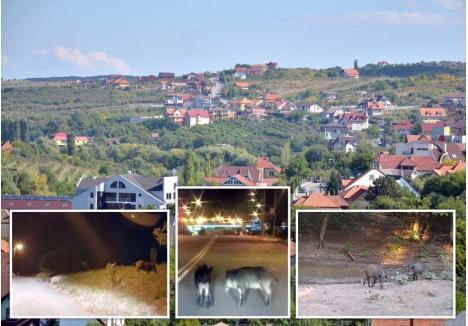 CA-N PĂDURE. Retraşi ziua în mărăcinişul de pe dealuri, mistreţii coboară noaptea în curţile caselor de pe străzile Gheorghe Doja, Adevărului şi Prunilor sau chiar mai departe. În ultima lună, localnicii şi vânătorii au fotografiat animale mature circulând noaptea în Podgoria (foto stânga), la intrarea în oraş dinspre Băile Felix (foto mijloc) şi pe dealul Ciuperca (foto dreapta)