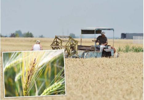 """MUNCĂ DEGEABA. Agricultorii se confruntă cu cea mai gravă îmbolnăvire a grâului din ultimele trei decenii. Boabele """"mâncate"""" de fuzarioză se opresc din creştere şi capătă o culoare rozalie. """"Îl recoltez, dar nu ştiu ce voi face cu el, că nu-l iau nici morile, nici crescătorii de animale"""", spune Florin Rus, fermier din zona Cefa"""