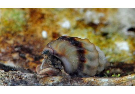 ADIO! Singurul loc din lume unde se ştie că trăia melcul termal (melanopsis parreyssi) era lacul Ochiul Mare, din Băile 1 Mai. Pentru a preveni dispariţia acestei specii, muzeografii orădeni au prelevat exemplare din apă şi le-au pus în acvarii din Oradea, Galaţi şi Gödölő. În captivitate, însă, nevertebrata nu a supravieţuit (sursa foto: peterlengyel.wordpress.com)
