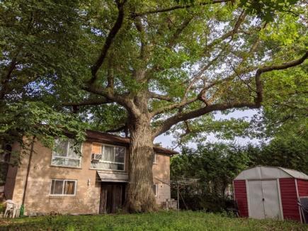 Cum se salvează un copac de la moarte: Autorităţile din Toronto au cumpărat o casă, pentru a putea salva un stejar mai bătrân decât oraşul