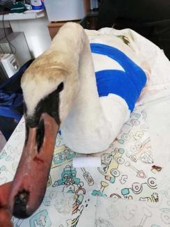 Jos pălăria: O lebădă care şi-a frânt o aripă în Oradea a fost salvată de la moarte la Cluj