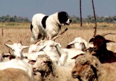 'Crimă' legală: Anchetă cu final neaşteptat în cazul unui bihorean ucis de câinii care păzeau o păşune