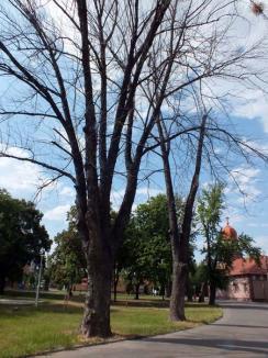 Tăieri cu ştampilă: Primăria va mai putea doborî copaci doar cu avizul APM