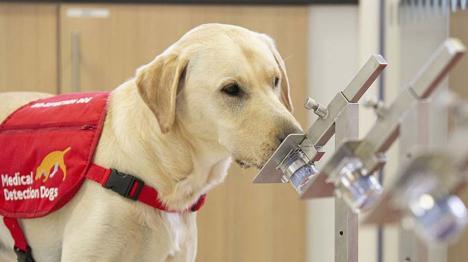 Câinii vor detecta Covid-ul: Căței antrenați să depisteze oamenii infectați cu Covid-19 în Marea Britanie