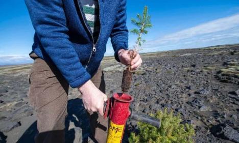 Islanda se reîmpădureşte