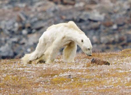Urşii polari, în pericol