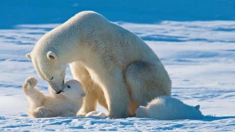Urşii polari ar putea dispărea pentru totdeauna