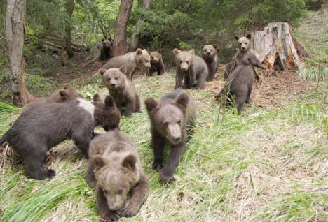 """Orfelinatul ursuleţilor: Singurul centru din Europa pentru """"reabilitarea"""" ursuleților orfani se află în Harghita"""