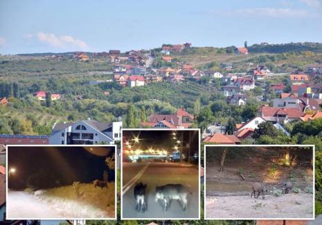 """S-a """"porcit"""" oraşul: Mistreţii dau iama în gospodăriile de pe dealurile Oradiei, punând în pericol proprietarii (FOTO)"""