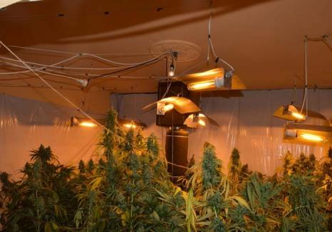 Traficantul ghinionist: Suspectat de contrabandă cu ţigări, un tânăr din Oradea a fost prins cu 33 kg de... cannabis