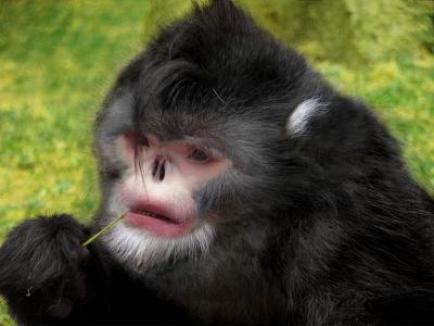 Maimuţele care strănută când plouă