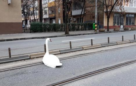 O lebădă pornită la 'colindat' pe Bulevardul Magheru, salvată de un șofer orădean (FOTO)