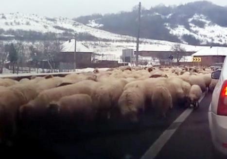 Se întâmplă în Ardeal! O turmă de oi a blocat Drumul European 18 din Sălaj