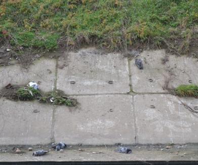 Revoltător! Autori necunoscuţi continuă să otrăvească porumbeii din Aleea Călinului (FOTO)
