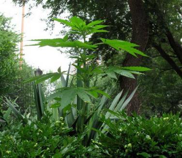 Marijuana creşte liberă în New York!