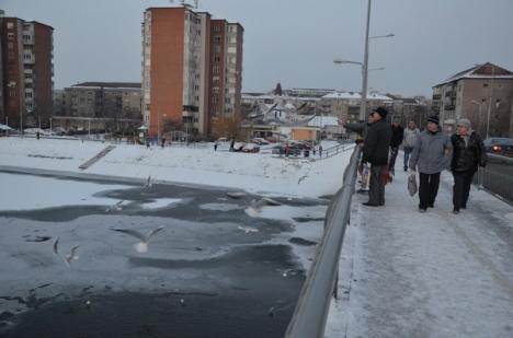 Lebedele se plimbă şi prin centrul Oradiei (FOTO)