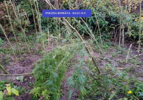 """Percheziţiile poliţiştilor Antidrog s-au terminat: Peste 3 kilograme de """"iarbă"""" au fost """"recoltate"""" din Beiuş, Ştei şi Petrileni"""