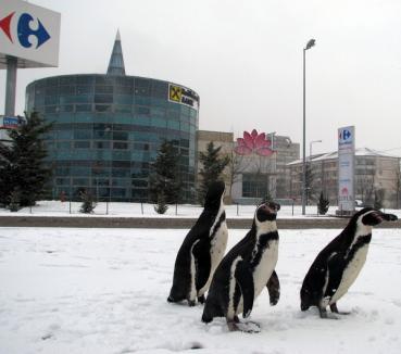 Trei pinguini s-au plimbat prin parcarea de la Lotus Center