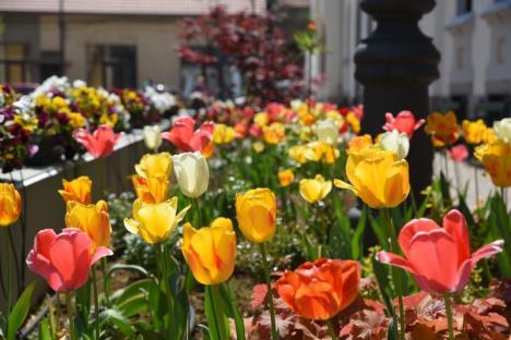 Piațetă colorată: Sute de lalele multicolore pe strada Iuliu Maniu din Oradea (FOTO)