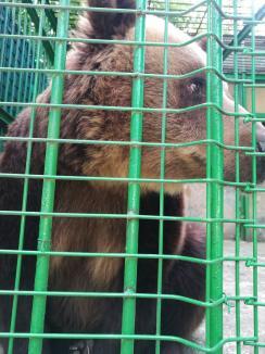 Ursoaica Pamela, 'pensionată' de la Zoo Oradea la rezervaţia de la Zărneşti (FOTO)