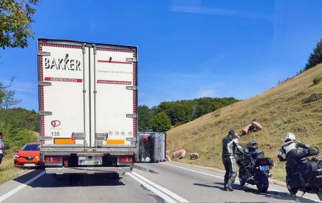 Un TIR cu 100 de porci s-a răsturnat pe Piatra Craiului pe sensul de urcare dinspre Cluj