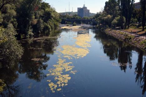Râul Crişul Repede, invadat de alge (FOTO)