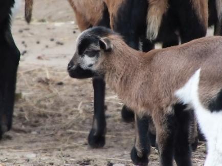 Noi animale la Zoo Oradea: un pui de lamă, trei miei și doi iezi de Camerun (FOTO)