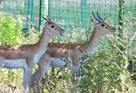 Două antilope cu coarne spiralate, noii chiriaşi Zoo Oradea
